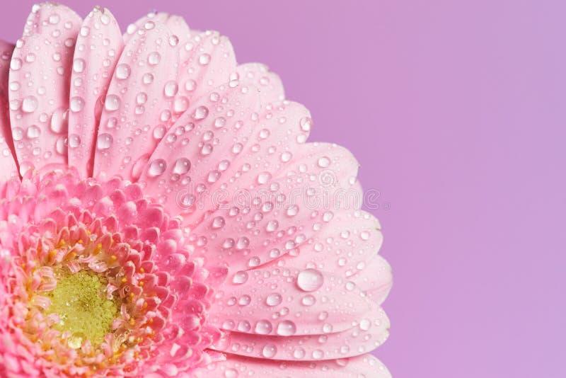 Serie de fleur rose de gerbera photo libre de droits