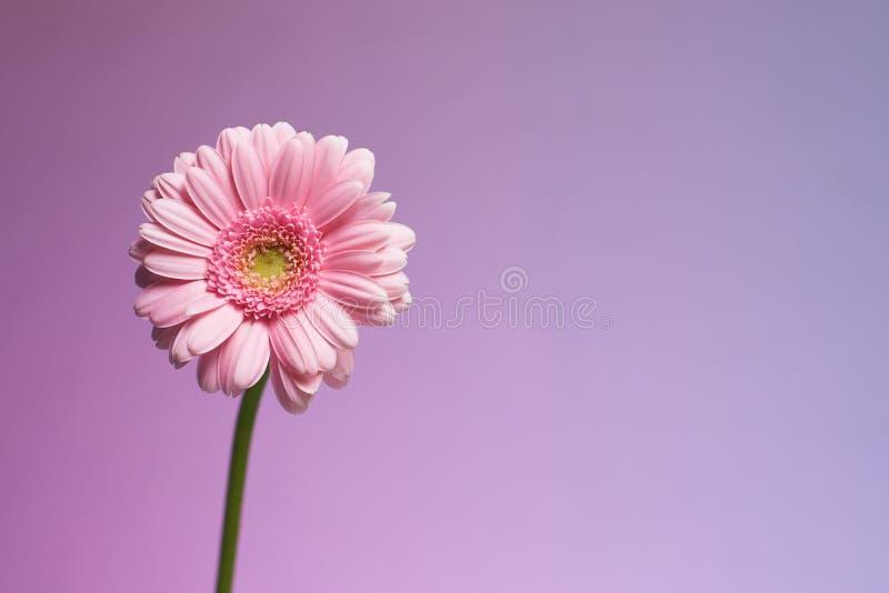 Serie de fleur rose de gerbera photographie stock