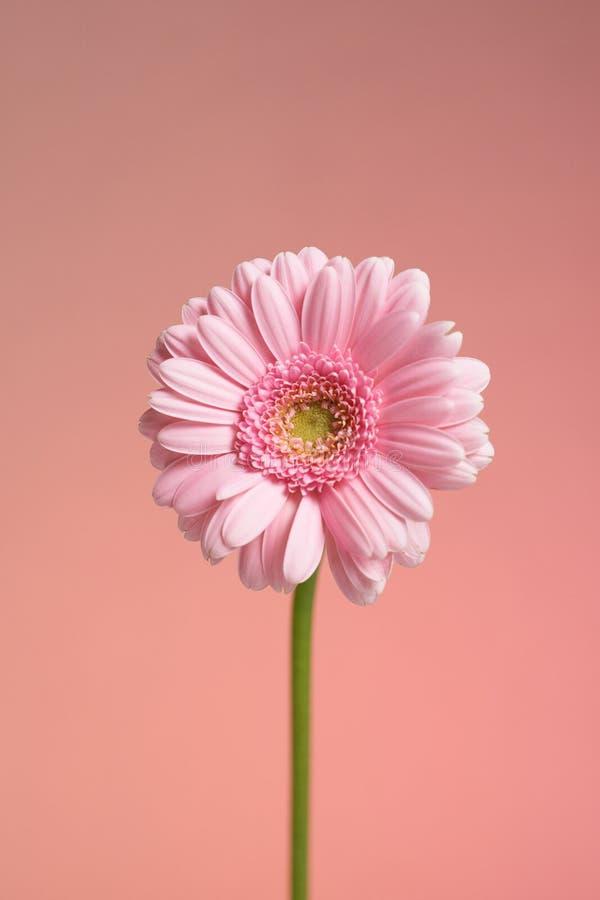 Serie de fleur rose de gerbera photo stock