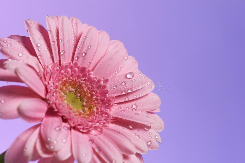 Serie de fleur rose de gerbera avec des baisses de l'eau photos stock