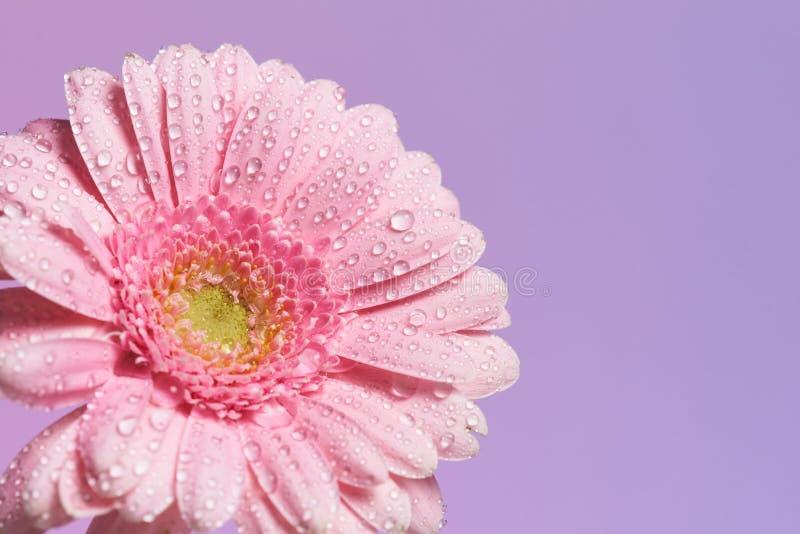 Serie de fleur rose de gerbera avec des baisses de l'eau image libre de droits