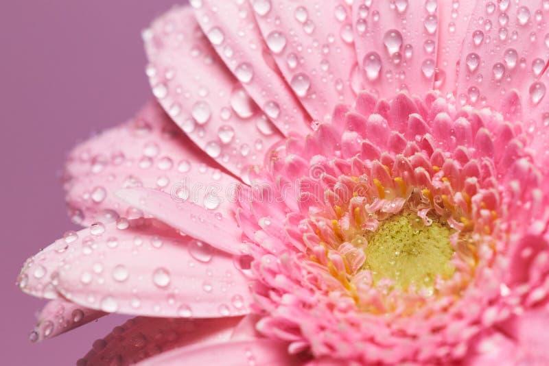 Serie de fleur rose de gerbera avec des baisses de l'eau images stock