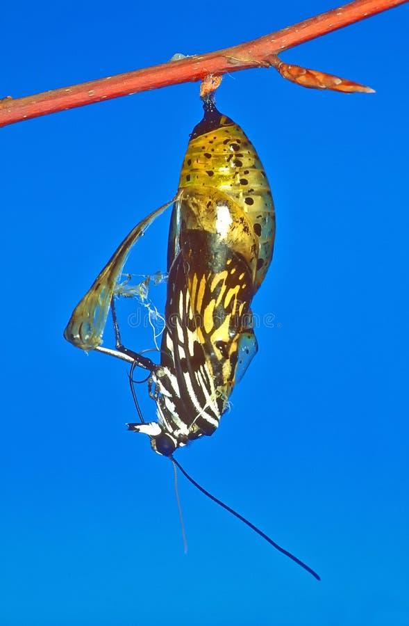 Serie de la metamorfosis Una mariposa de papel de la cometa Foto 1 de 3 fotos de archivo libres de regalías