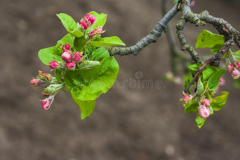 Apple florece brunch del árbol de la ramita de la flor del brote imagenes de archivo