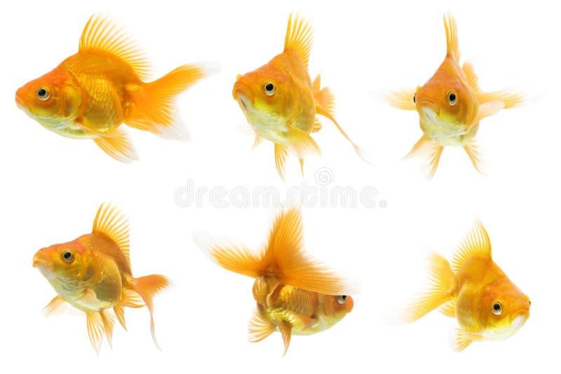 Serie del Goldfish de Ryukin imagenes de archivo