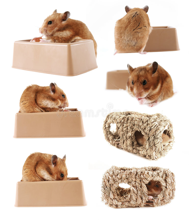 Serie del hámster del animal doméstico imagen de archivo libre de regalías