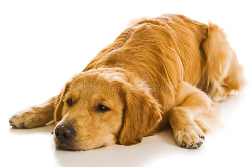 Serie del perro perdiguero de oro (Canis imágenes de archivo libres de regalías