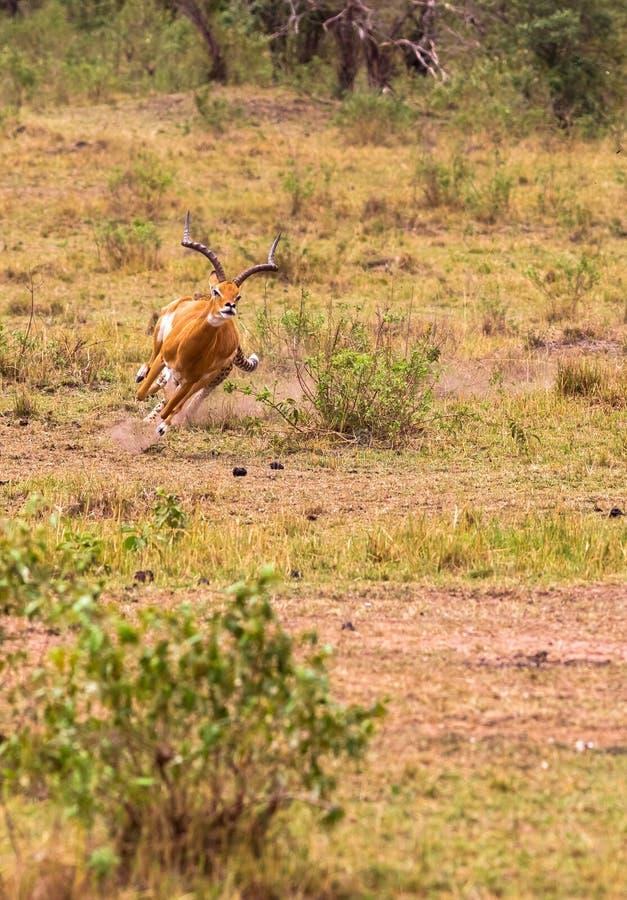 Serie della foto: Caccia del ghepardo per la grande impala L'ottavo episodio Masai Mara, Kenia immagine stock libera da diritti