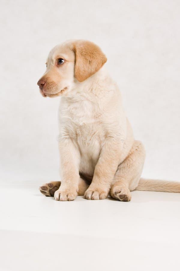 Serie Labrador stock images