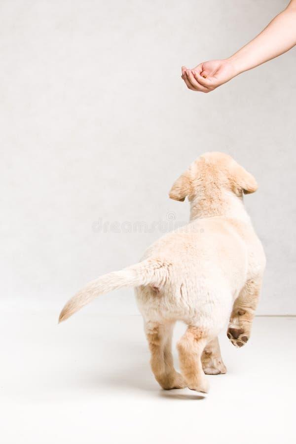 Serie Labrador royalty free stock photography