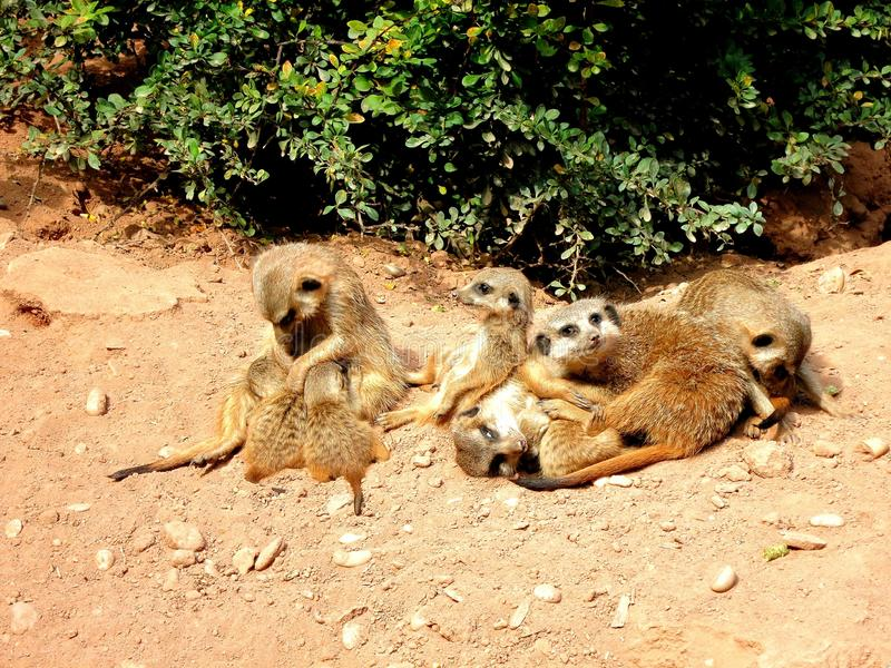 Serie meerkat 2. Mother sucks her children. Mother love stock image