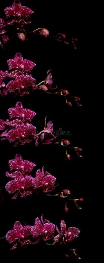 Serie rosada del time lapse de la orquídea de polilla fotos de archivo libres de regalías