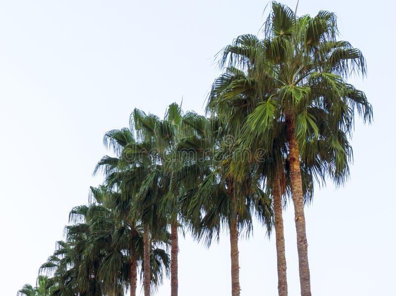 Serier av tropiska exotiska palmträd i sommarvårsäsong med långa filialer och stora gräsplansidor i en naturlig solig dag uppvakt arkivfoto