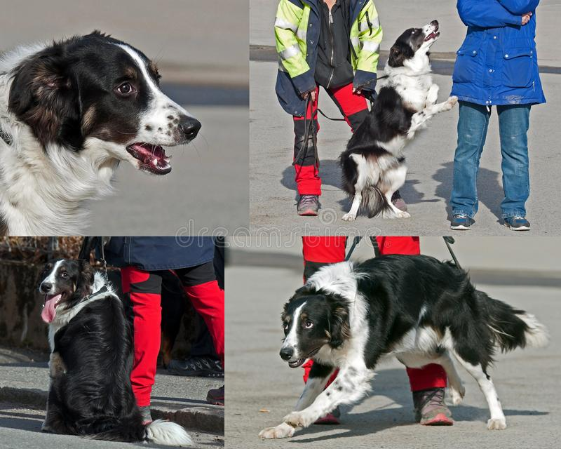 A young and happy border collie gets training of obedience. A series of pictures on a young and happy border collie gets training of obedience and exercises to royalty free stock photos