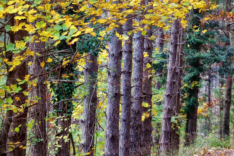 Series of tree trunks in the woods stock photo