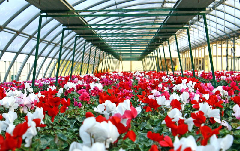 Series of vases of flowers in greenhouse. Series of vases of flowers violets and cyclamen in a greenhouse in winter stock photos