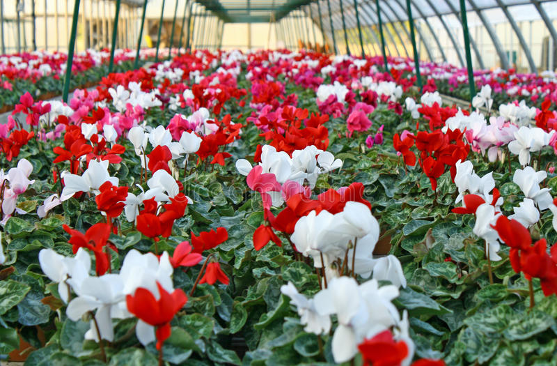 Series of vases of flowers violets and cyclamen. In a greenhouse in winter stock photos