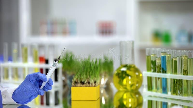 Seringue de participation de scientifique avec de l'engrais devant des wheatgrass, pesticides photographie stock libre de droits