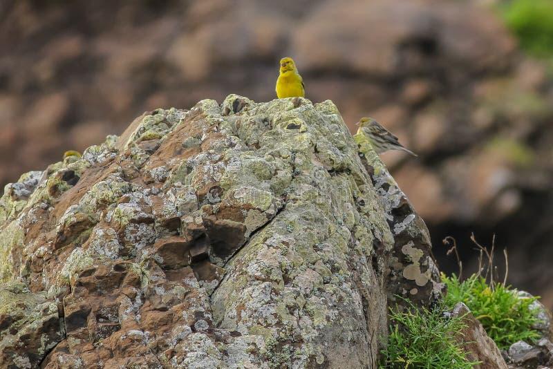 Serinus color giallo canarino atlantico Canaria fotografia stock