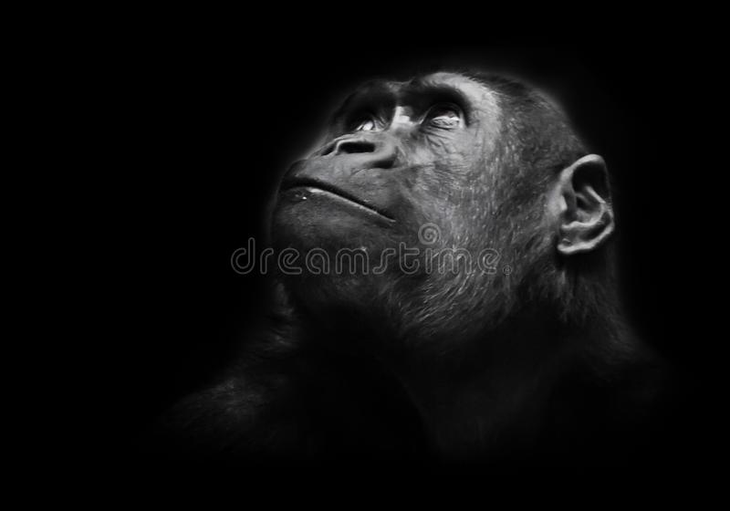 Serious big monkey look. An adult female gorilla with a serious expression smiles sideways, close-up, Isolated black background. Serious big monkey look. An stock image