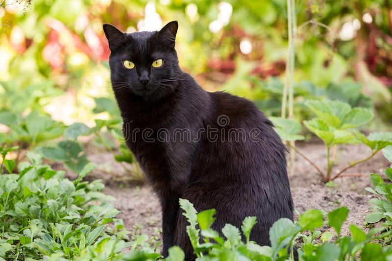 Serious bombay black cute cat portrait outdoors in grass royalty free stock photos