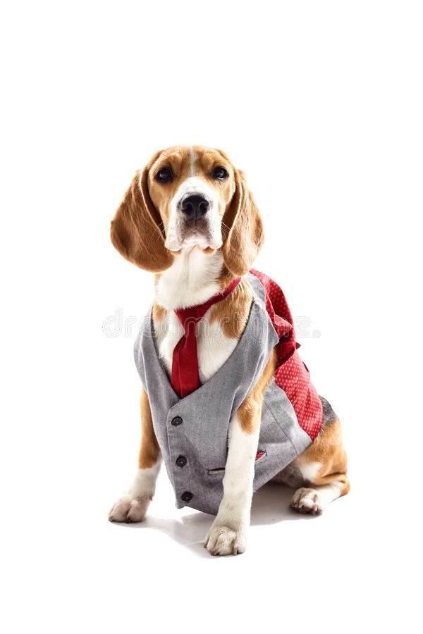 Serious business dog in elegant costume stock images