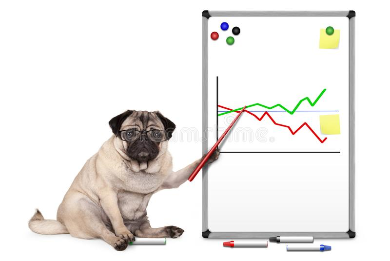 Serious business pug puppy dog sitting down, pointing at white board with chart, yellow notes and magnets. On white background royalty free stock image