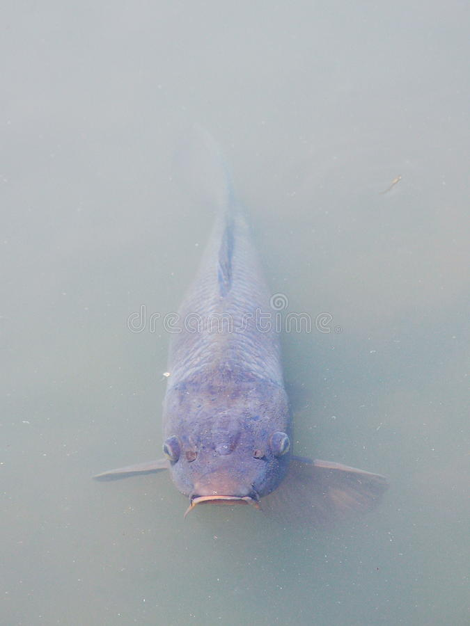 Free Serious Carp Looking Above The Water Suface Royalty Free Stock Photography - 78059417