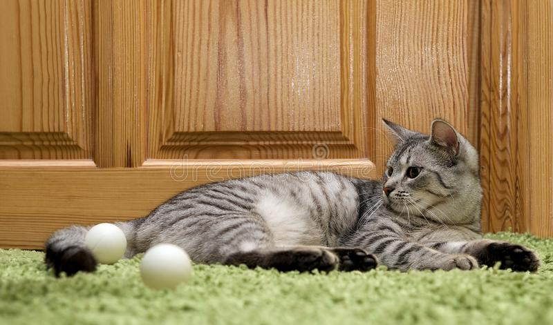 Serious cat, cat at home, proud cat, funny cat, grey cat, domestic animal, grey serious cat in blurry background, fat cat stock photography