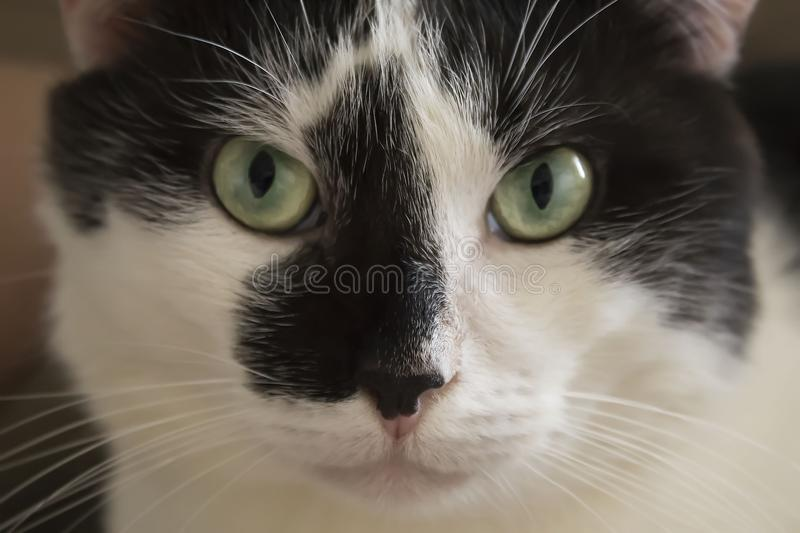 Serious catMuzzle, portrait of a black and white cat with green. Muzzle, portrait of a black and white cat with green eyes close up royalty free stock photos