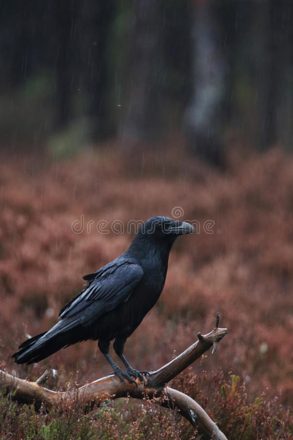 Serious Common raven stock photos