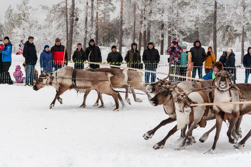 Serious competition of reindeer sleds begins at the start stock images