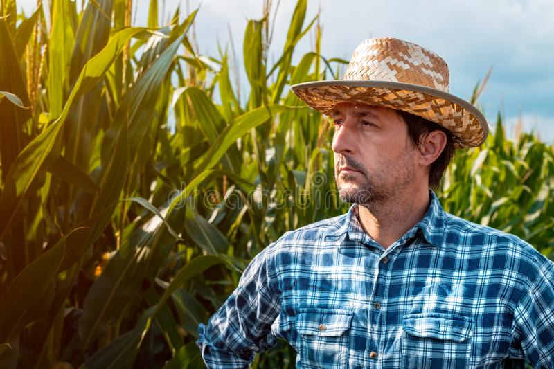 Serious corn farmer portrait in cultivated field stock images
