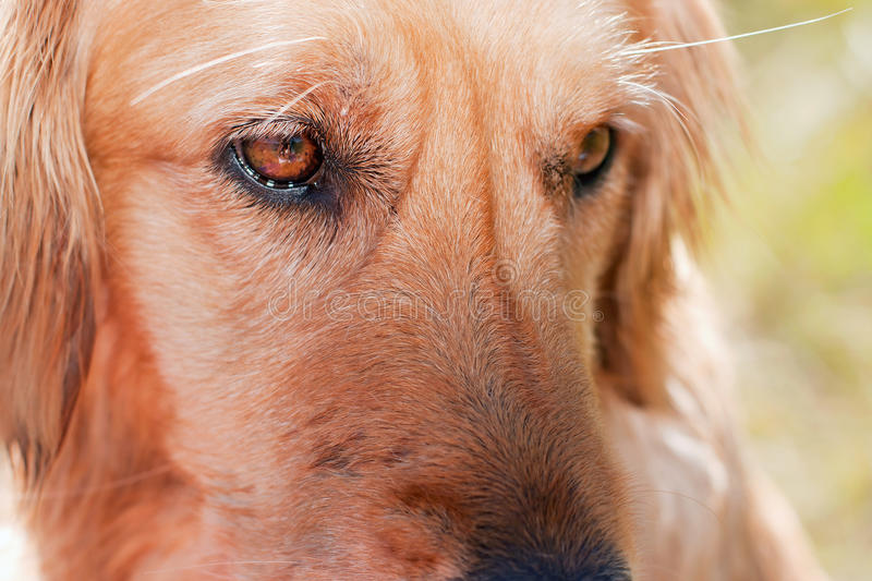 Download Serious dog stock image. Image of eyes, retriever, golden - 25488441