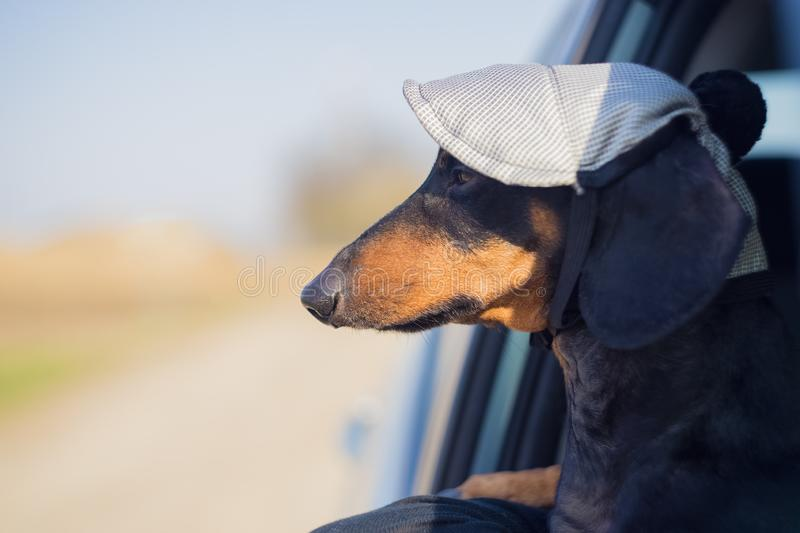 Serious dog of the breed of dachshund, black and tan, dressed in a cap looks out looking out of car window, on a road trip.  stock image