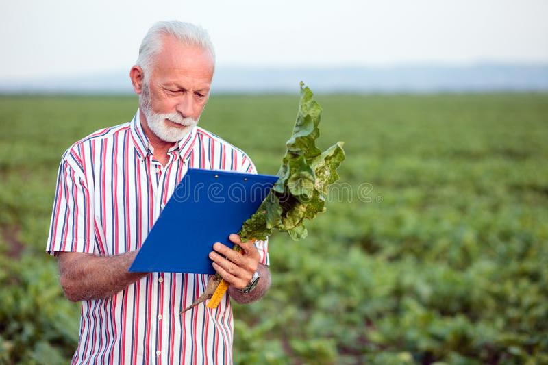 Serious gray haired agronomist or farmer examining young sugar beet plant, filling out a questionnaire royalty free stock photography