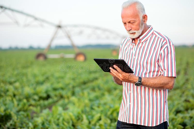 Serious gray haired senior agronomist or farmer using a tablet in soybean field royalty free stock photo