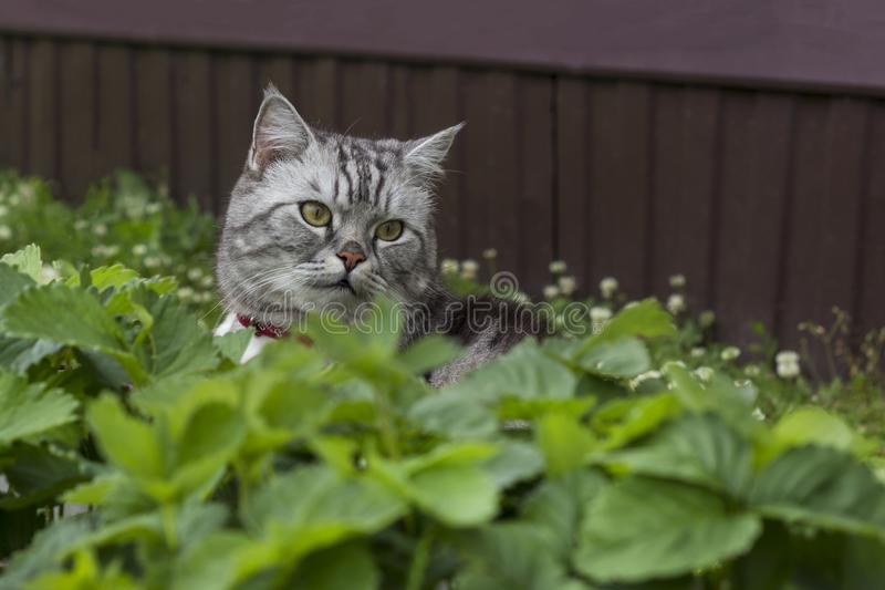 Serious grey cat of british or scottish breed breeds sits royalty free stock photo