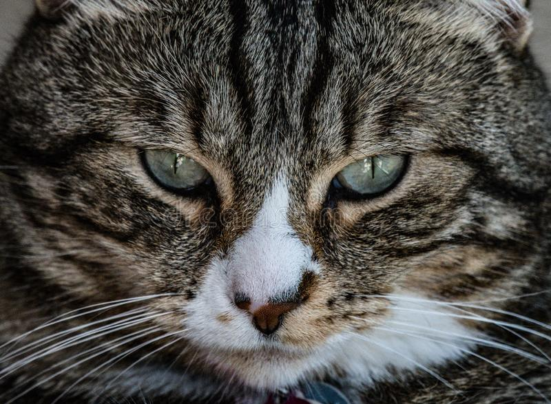 The serious look. Tabby cat stares intensely  into the camera . Trying to show her tough side royalty free stock images