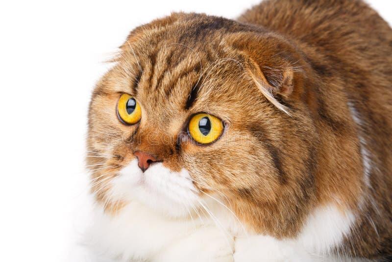 Serious Scottish Fold cat on white background closeup. Portrait serious orange and white Scottish Fold cat with big yellow eyes isolated on white background and stock image