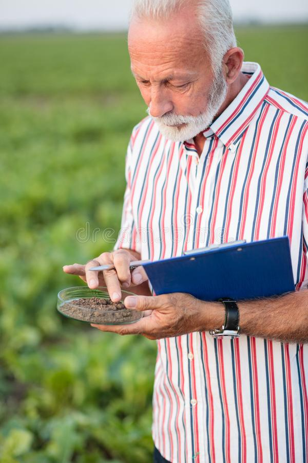 Senior agronomist or farmer examining soil samples in a field. Serious senior agronomist or farmer taking and examining soil samples in a soy field stock photos