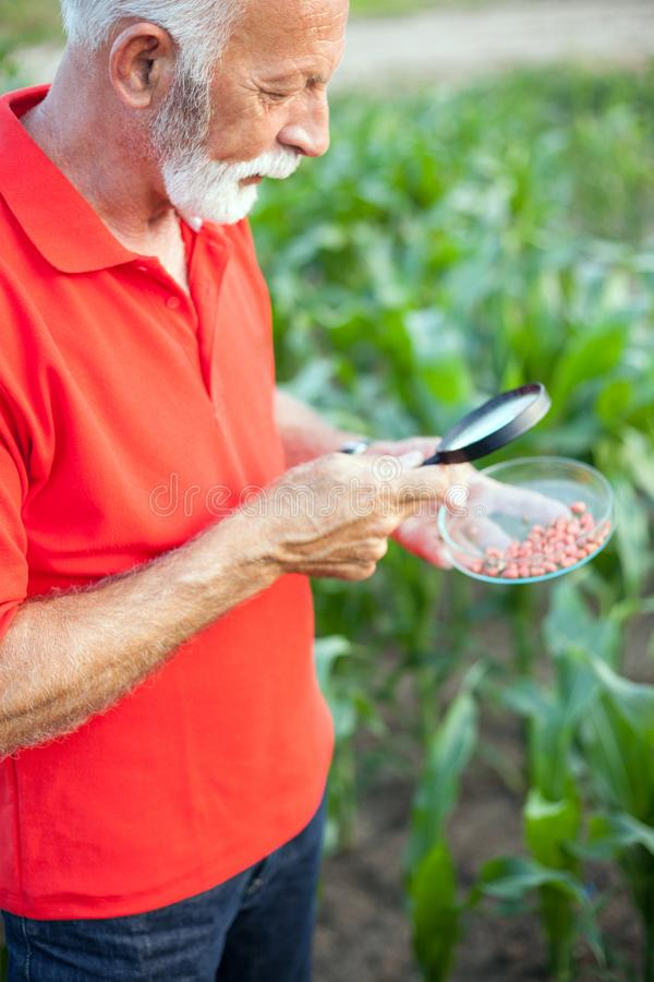 Senior agronomist or farmer examining corn seeds in a field. Serious senior, gray haired, agronomist or farmer in red shirt examining corn seeds in a field with royalty free stock photography