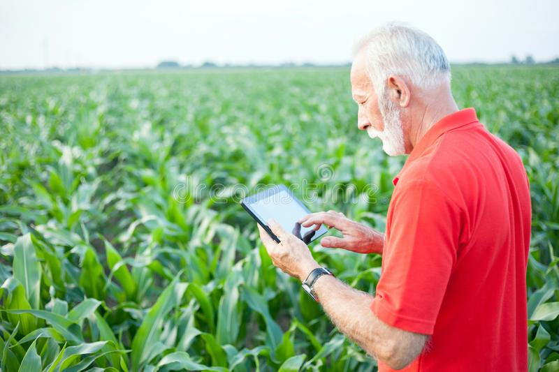 Serious senior, gray haired, agronomist or farmer in red shirt standing in green corn field royalty free stock photos