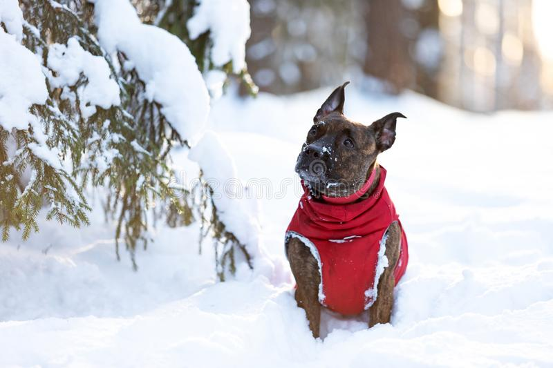 Serious tiger dog walks outdoor at winter stock photography