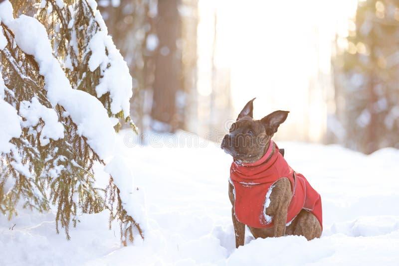 Serious tiger dog walks outdoor at winter stock image