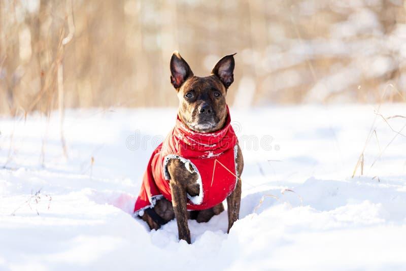 Serious tiger dog walks outdoor at winter stock photos