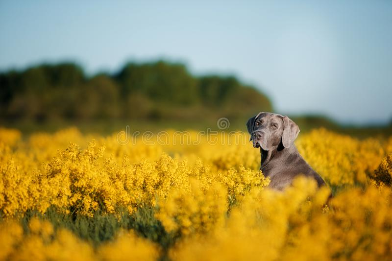 Serious weimaran sitting in a field of flowers royalty free stock photo