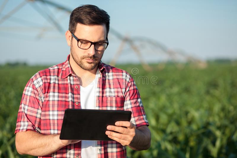 Serious young farmer working on a tablet in corn field royalty free stock images