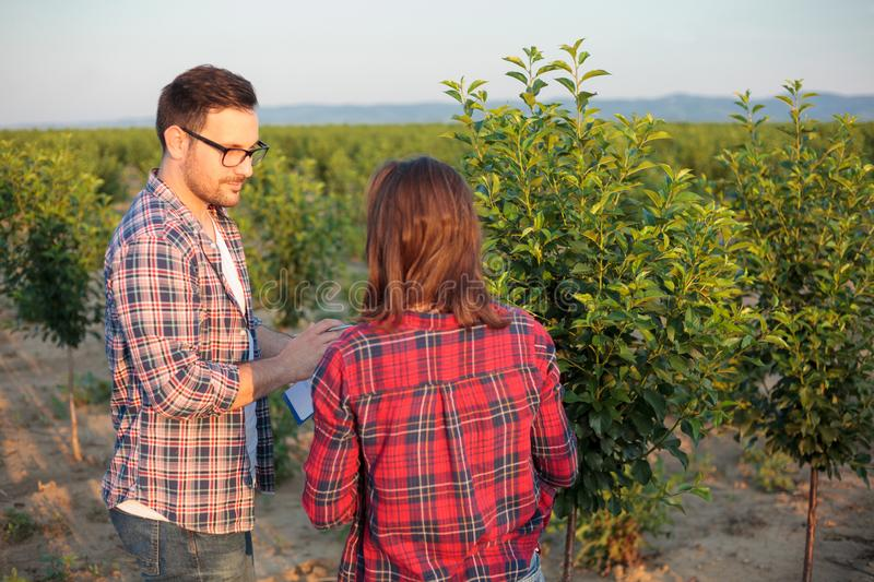 Serious young male and female agronomists or farmers working in a fruit orchard, inspecting young trees stock photo