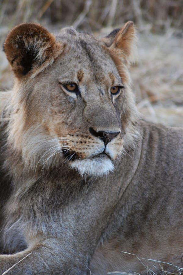 Seriouse färgade lejonet i den Kalahari öknen arkivfoton